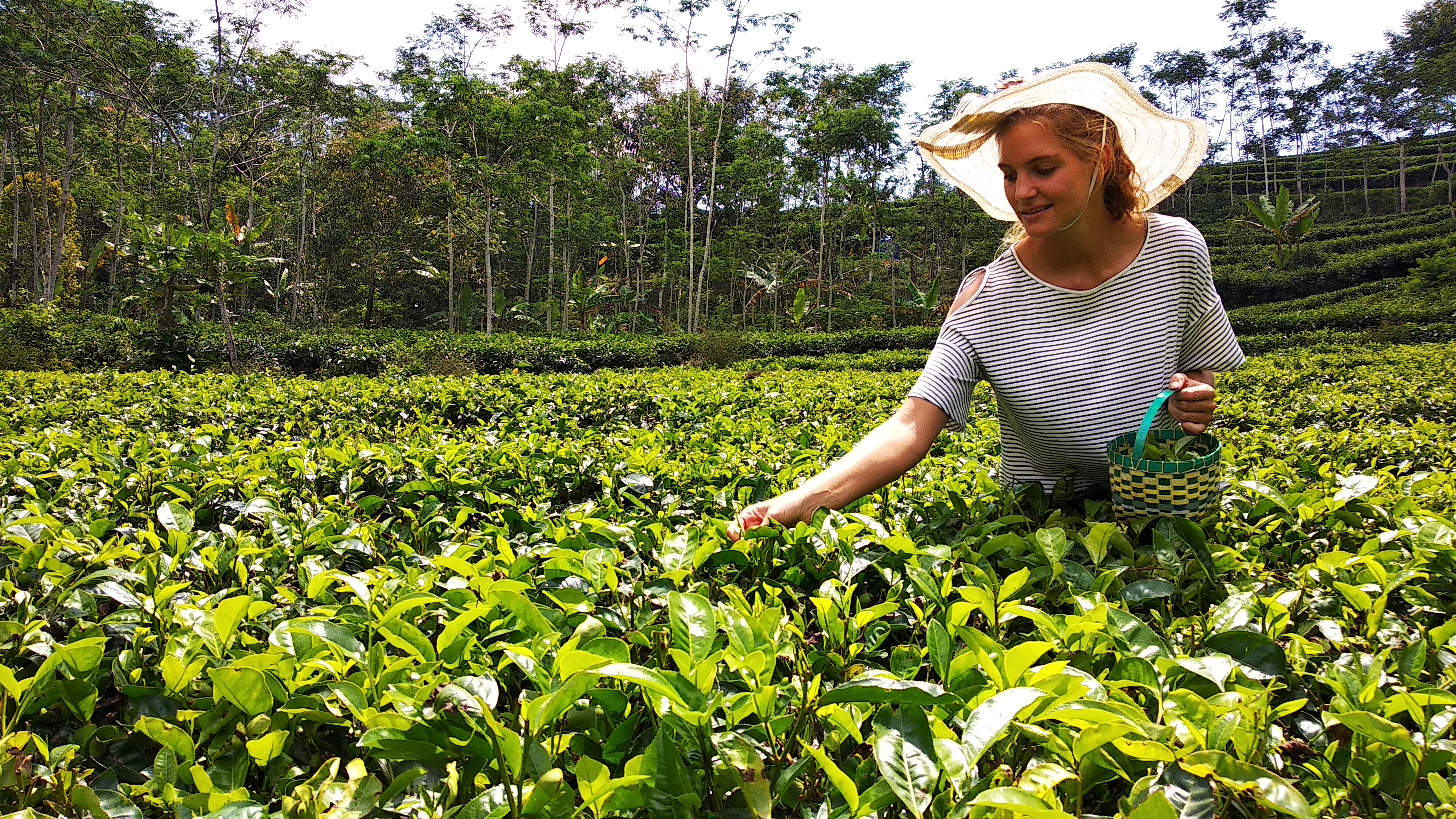 nglinngo-tea-garden-tea