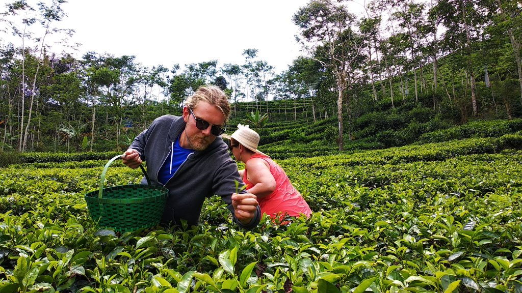 Nglinggo-tea-garden-picking-tea