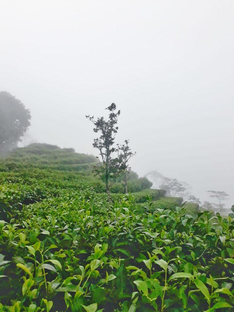 nglinggo-tea-garden-yogyakarta